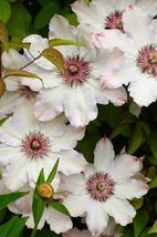 50 White Pink Clematis Seeds Flowers Bloom Climbing Perennial Flower - TTS - $29.95