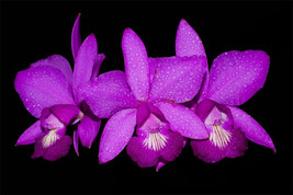 Cattleya x labendziana C.nobilior Lori X C.violacea superba Orchid Plant - $53.96