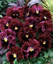 ¡Nuevo! 30 + Ondulado Pensamiento Frizzle Sizzle Borgoña Semillas de Flor / - $4.87