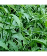 Clinacanthus Nutans Sabah Organic Snake Grass Leaves Herb - $120.00