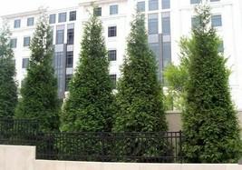 """Green Giant 12-18"""" qt. pot Arborvitae Thuja plicata  image 1"""