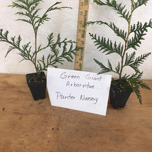 "Thuja Green Giant Arborvitae 6-12"" tall 3""pot image 4"