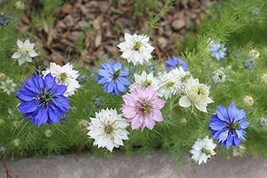 11800 seeds, or 1 ounce - Love in a Mist Mix Seeds - Pink Blue White Flower - $21.78