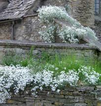 1000 + Snow in Summer (Cerastium biebersteinii) seeds Groundcover CombSH I46 - $11.98