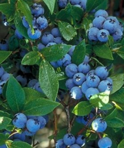 North Country Blueberry High Bush live plant vaccinium - $28.00