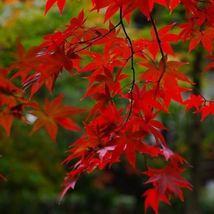 Red Maple Tree Seeds (ACER rubrum) 30 Seeds - $11.99