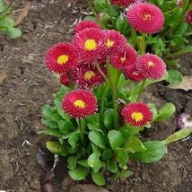 50 Bellis Perennial English Daisy Red Flower Seeds - $3.99