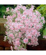 USA candy stripe creeping phlox 25 to 200 seeds (butterfly garden)(ground cover) - $6.99 - $24.00