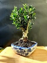 Olive tree Bonsai - Arbequina - Amazing tree - $264.00