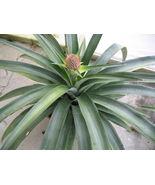 Pineapple Plant - 'Kona Sugarloaf' - Live plant edible fruit Ananas comosus - $25.64