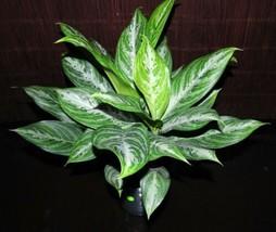 "Beautiful Aglaonema Moonlight Bay Chinese Tropical Houseplant large 6"" Evergreen - $73.99"