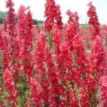 100 Red Delphinium Seeds Perennial Garden Flower Bright Seed Flowers - TTS - $23.95