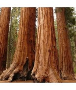 15 Seeds - Giant Sequoia Plant Tree Fast Growing (Sequoiadendron giganteum) - $9.99