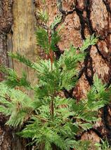 Incense Cedar Live Tree Seedling Medium Plant Yard Trees Outdoor Garden - $82.00