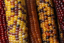 Corn Carousel Multi-Color Hard Non GMO Heirloom Vegetable Seeds Sow No G... - $2.76+