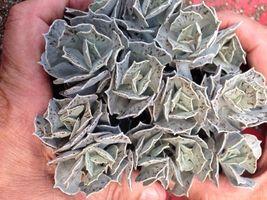 "2"" Succulent Pot Kalanchoe Rhombopilosa TkRicklo - $40.00"