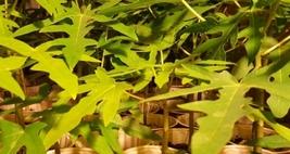5 Variety - Tasty Edible Papaya Fruit Tree Seeds #AKS12 - $17.99+