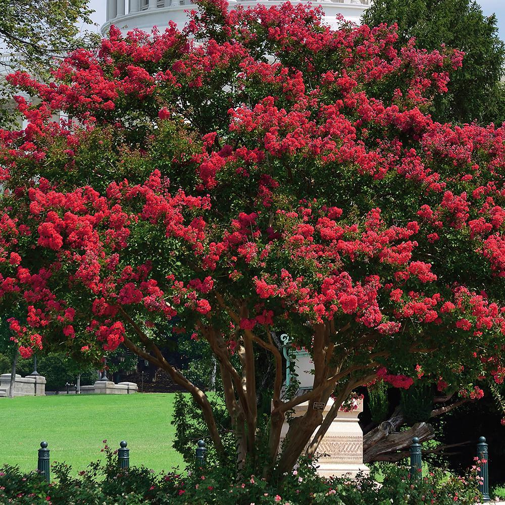 Primary image for 1 Plant Red Crape Myrtle Established Gallon Trade Pot