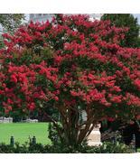 1 Plant Red Crape Myrtle Established Gallon Trade Pot  - $59.99