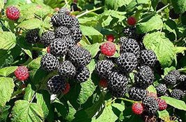 5 Seeds of Rubus Occidentalis Black Raspberry Fruit - $16.83