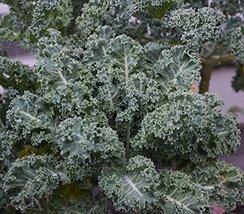 2000 Seeds of Vates Blue Scotch Curled Kale / Brassica oleracea - $13.85