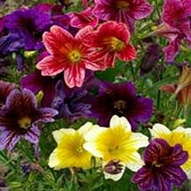 100 Painted Tongue (Salpiglossis) Seeds - $5.94