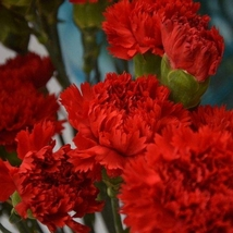 30 Carnation Seed Dianthus CaryophyIIus Beautiful Garden Flower Seeds - $13.58