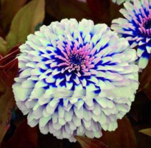200 Pcs Pretty Pastel Colors Mixed Zinnia Bonsai Annual Seeds - $15.96