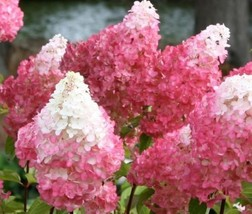 Vanilla Strawberry Pink Panicle Hydrangea - Live Plant - 3 Gallon Pot - $149.00