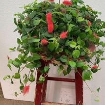 Live plant Chenille Firetail Cat Tails Acalypha pendula Indoors Out fit ... - $12.00