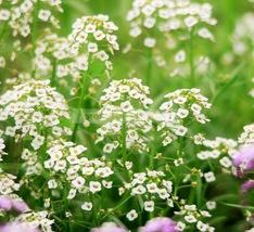 60seeds Fragrant flower Bonsai Hornsey ball, white spice snowball - $2.88