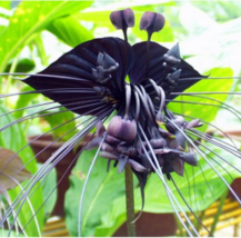 HOT 100 Seeds / bag Black Tiger Flower Orchid Flower Seed Rare Orchid Orchid - $3.99