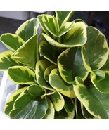 Starter Live Plant Baby Rubber Plant - Marble- Golden Peperomia Obtusifolia - $17.50