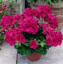 15 Seeds - Geranium Ringo Violet Flower - $10.79