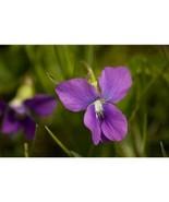 Prairie Violet Purple Viola Flower 100 Seeds #SFB11 - $18.17