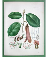 KERUING Dipterocarpus Retusus Tree Flowers - SUPERB Botanical Print Color - $28.31