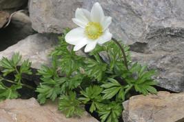 20 Anemone baldensis Seeds, - $8.95