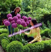 200Seeds Purple Giant Allium Giganteum Beautiful Flower Seeds Garden Pla... - $3.99