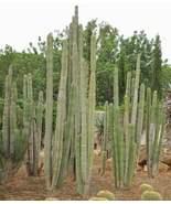 Pachycereus marginatus - Exotic Cacti / Succulent - 10 Seeds - $29.00
