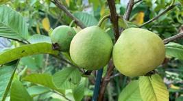 Psidium guajava Peruvian White Guava Live Plant For Garden Plant - $45.00