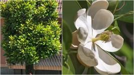 Sweet Bay Magnolia Tree (1-2') - Home Garden Outdoor Living - $77.99