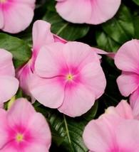 Vinka Icy pink Flower Seeds-100 PCS - $60.99