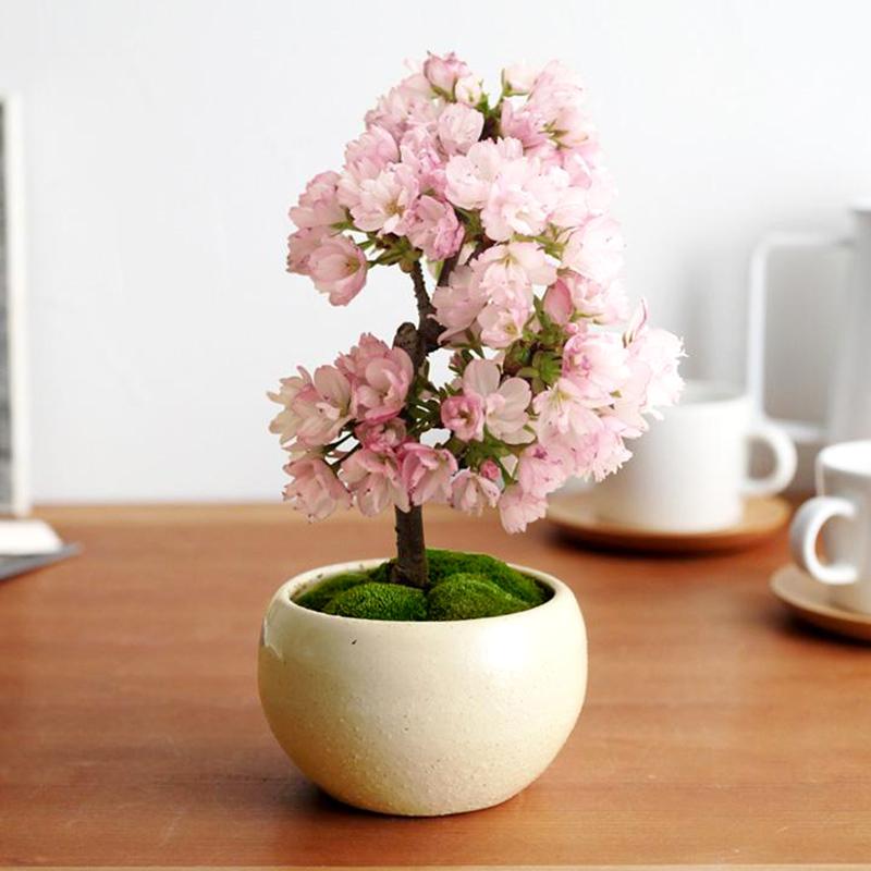 5Seeds Pink Cherry Tree Seeds,DIY Home Garden Mini Bonsai,easy growing