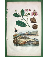 NATURAL HISTORY Brazil Nut, Lebias Fish & Beetle - H/C Color Antique Print - $13.77