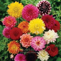 50 Pcs Mixed Dahlia Seed, Heirloom Decorative pinnata perennial flower b... - $5.49
