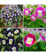 200pcs Very Exotic Mixed 4 Colors Torenia Fournieri Flower Seeds IMA1 - $15.99