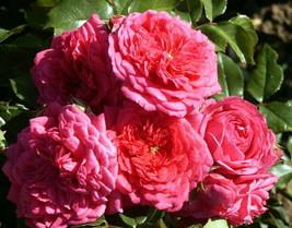 """4"""" Pot - Climbing Laguna Rose - Vigorous and Fragrant - Gardening - £39.40 GBP"""