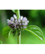 PENNYROYAL Mint Mentha Pulegium Herb Flower 200 Seeds - $6.00