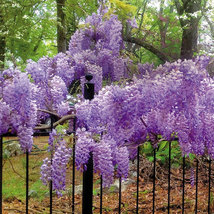 STARTER PLANT - WISTERIA 'BLUE MOON' - APPROX 8-10 INCH - Gardening - $37.99