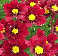 1 Healthy Starter Plant of Coreopsis Red Elf - $40.59